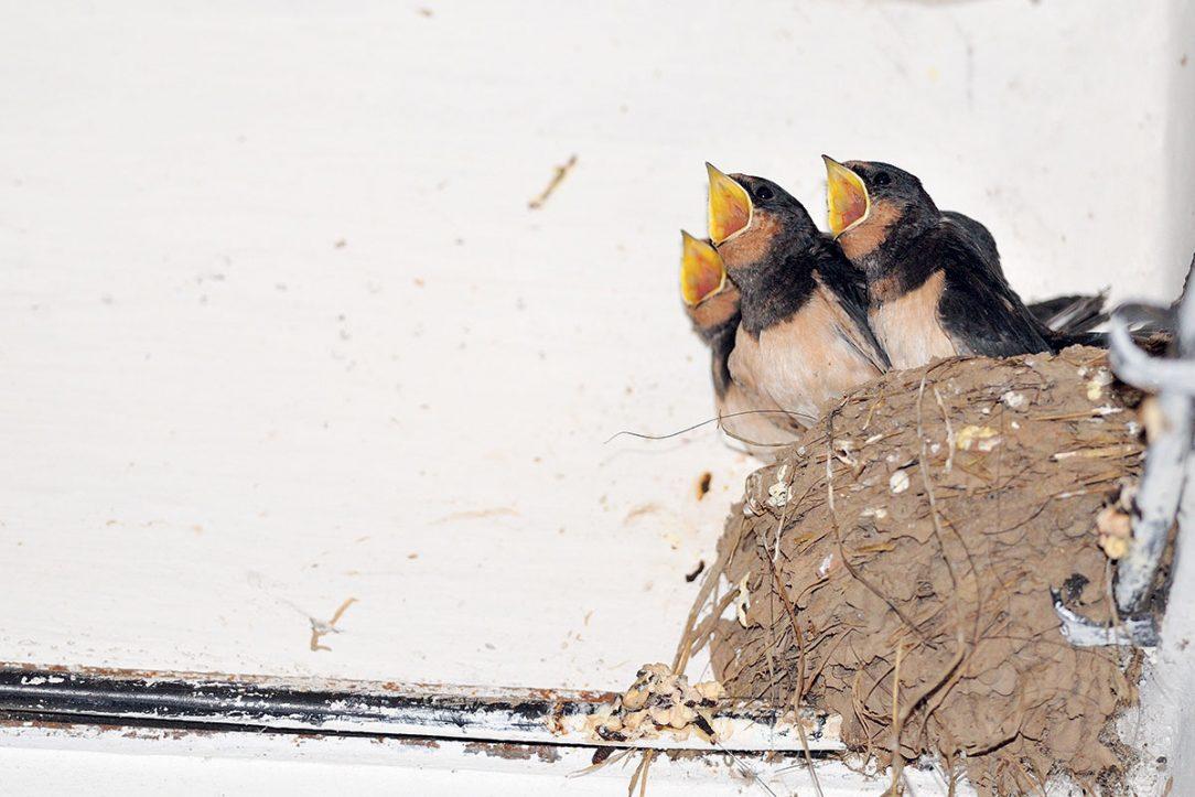 Lastovička s prirodzenou ľahkosťou opustí svoje hniezdo ktoré usilovne postavila svojím zobáčikom hneď potom ako vyrastú jej mláďatá.
