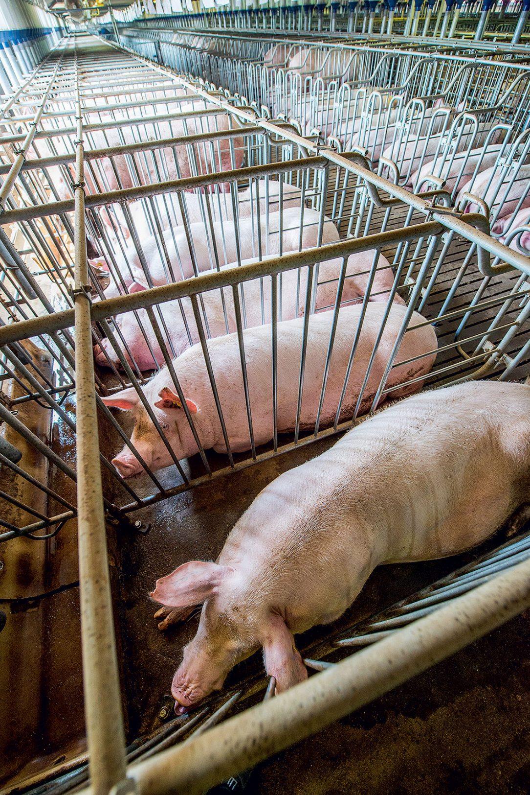 Obr. 2 Veľkochov – továreň na mäso