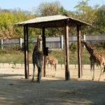 zoo, zirafa
